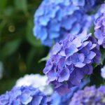 紫陽花の花言葉は?季節はいつ?種類はどれくらいある?