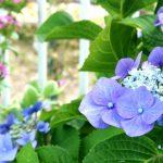 紫陽花の地植えの植え替え方法は?間隔は?肥料は何が良い?